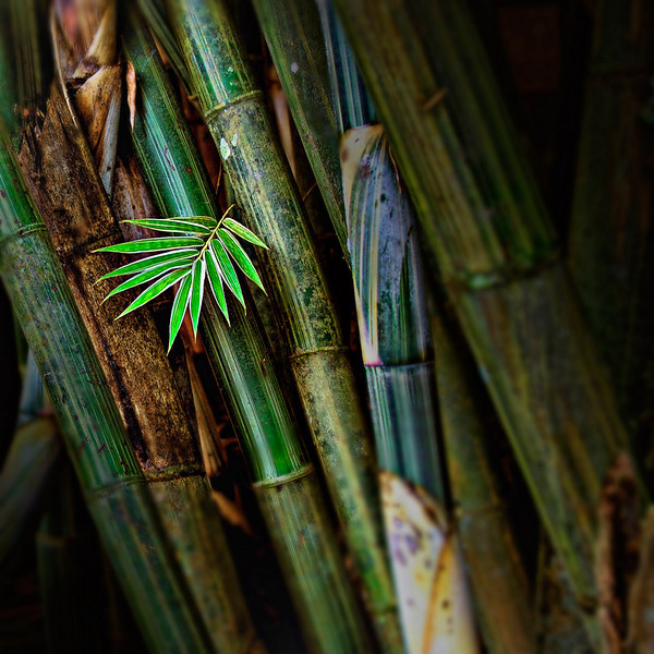 """""""A Young Bamboo"""", This photograph was taken in San Pablo, Laguna, Philippines."""