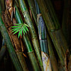"""A Young Bamboo"", This photograph was taken in San Pablo, Laguna, Philippines."