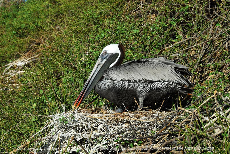 Can you spot the egg of this brown pelican? Spotted at Rabida Island of Galapagos Island group, Ecuador.