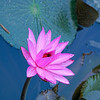 Water lily flower, spotted in a garden in Cebu, Philippines.