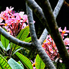 Flowering Kalachuchi tree in fron of our second floor hotel window in Boracay Island, Aklan Province, Philippines.