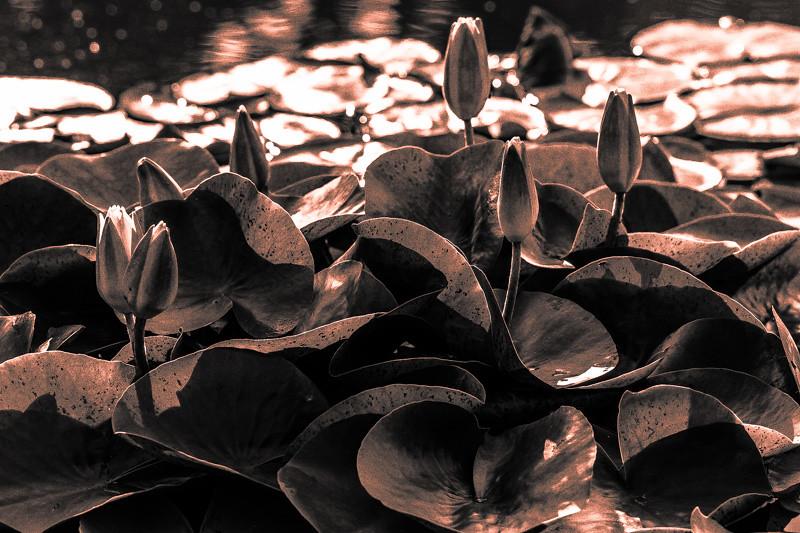 Lily  Pond 29