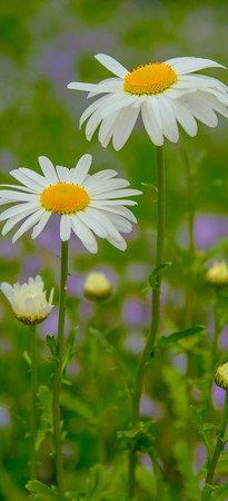 Ox-Eye Daisy 3
