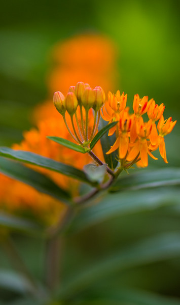 butterfly weed 5