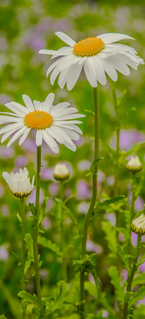 Ox-Eye Daisy 4