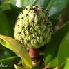 Magnolia Flower Seed