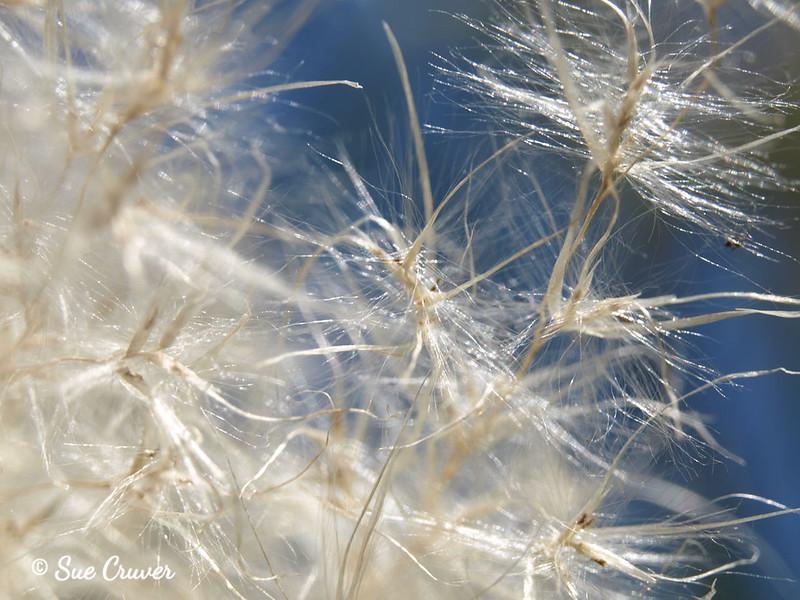 Pampus Seeds