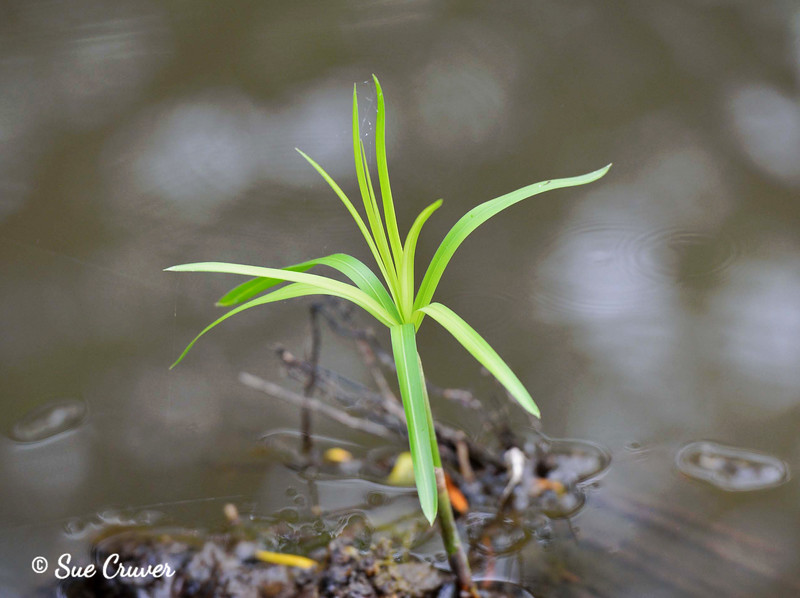 Water Weed