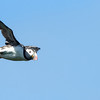 Flight of the Lunga Puffin