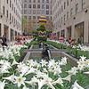 Plaza Lilies