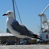 Seagull Visitor