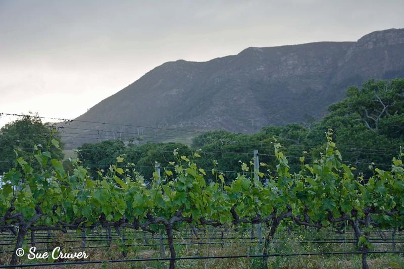 Vineyard and Mountain