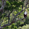 Fish Eagle Waits