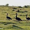 Strutting Ducks