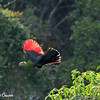 Knysna Lourie (Turaco) in Full Flight
