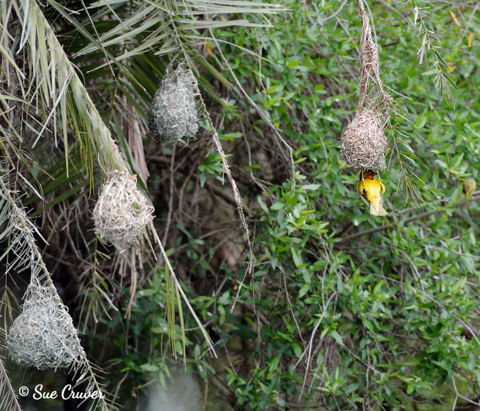 Cape Weaver Checking Nest