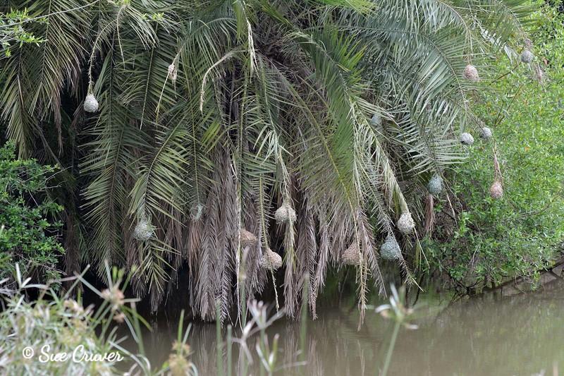 Cape Weaver Bird Nests