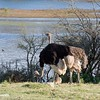 Ostrich Pair and Chick