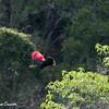 Knysna Lourie (Turaco) Spreading Wings