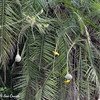 Cape Weaver Nest Inspection