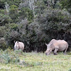 Pair of Rhinos
