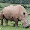 Rhino Without Horn