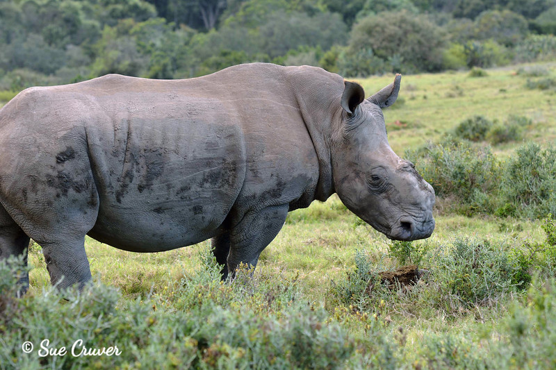 Thandi -- A Poaching Surviver