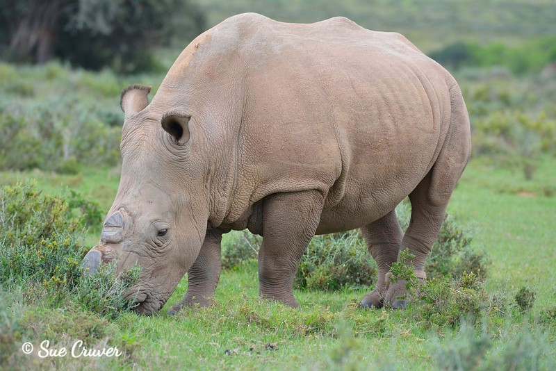 The Endangered Rhino Without a Horn