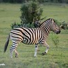 Prancing Zebra