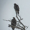 Red Tail Hawks in Falling Snow