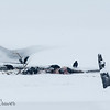 Ravens With Elk Carcass in Snow