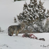 Coyote With Dinner