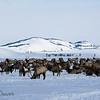 Wintering Elk in National Elk Refuge