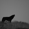 Wolf Howl Black n White