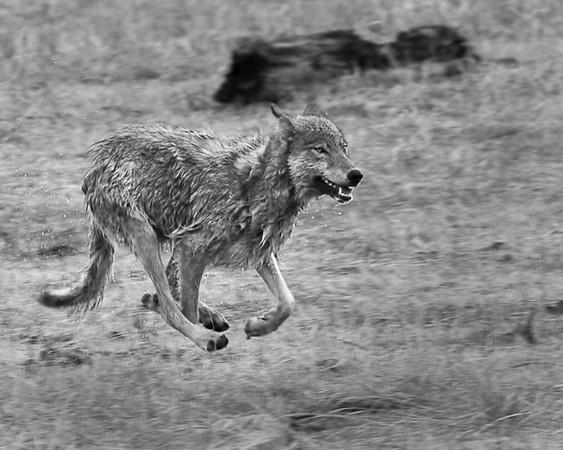 wolf94