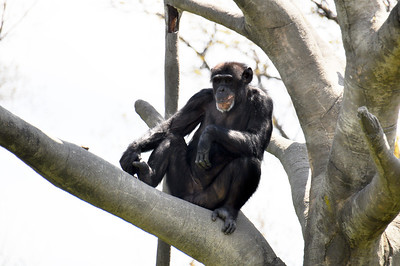 CHIMP IN TREE