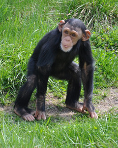 BABY CHIMP WALKING