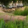 Cattle Crossing a Creek