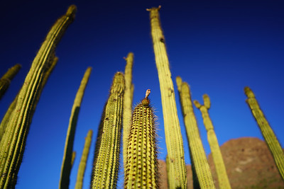 Organ Pipe Cactus / Organ Pipe National Monument, Arizona