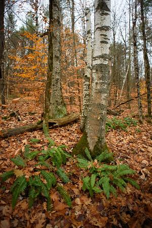 Birches and Ferns / Norwich, Vermont