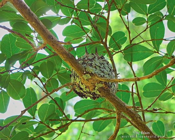 Hummingbird Twins