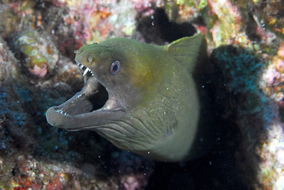 Panamic Moray (most common one there)