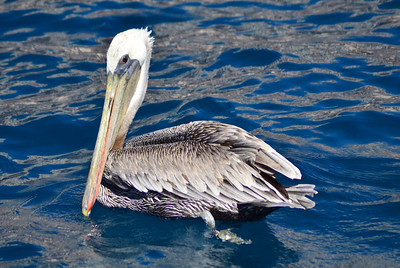 Pelican hanging by the boat