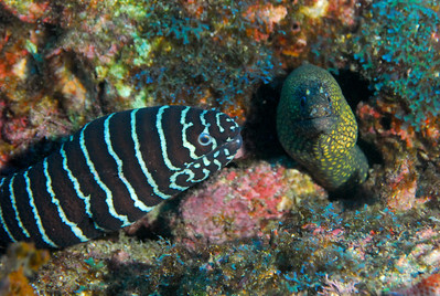 Neighbors - Zebra & Jewel Moray