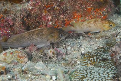 Kelp Rockfish duo