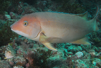 Female Sheephead