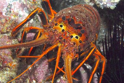 Lobster staredown