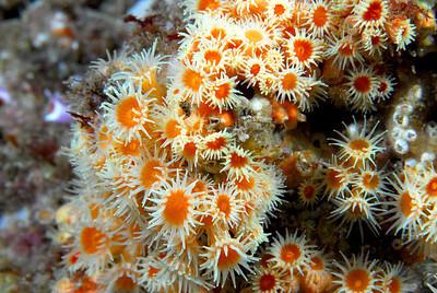 Yellow anemones