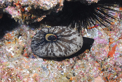 Giant Keyhole Limpet moseying along