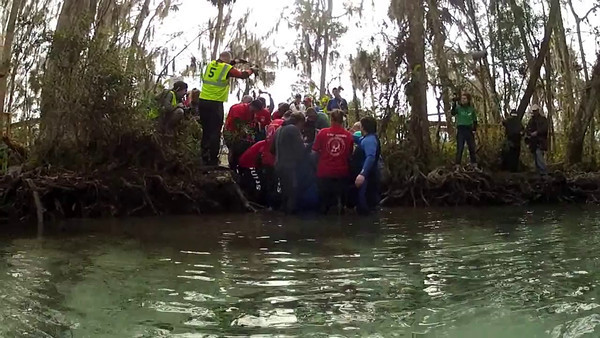 Manatee release - Crystal River, FL - Feb 13, 2012 [720p]